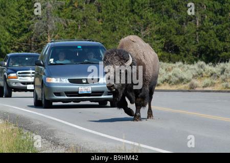 Bison (Bison bison) traverser la route devant les voitures d'attente, le Parc National de Yellowstone, États-Unis Banque D'Images