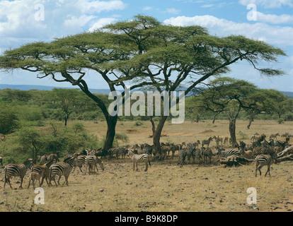 Chapman's zebras - troupeau sous les arbres / Equus quagga chapmani