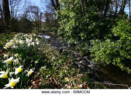 Printemps jonquilles fleurissent à proximité d'une rivière et un pont dans une zone d'une beauté exceptionnelle Banque D'Images