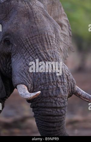 L'éléphant, le Parc National Kruger, Afrique du Sud Banque D'Images