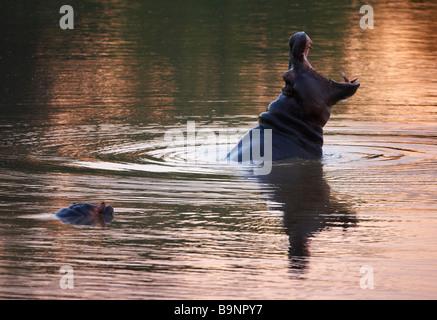 Le bâillement d'hippopotames dans une rivière, Kruger National Park, Afrique du Sud Banque D'Images