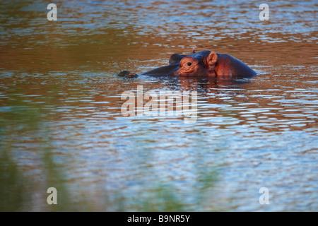 Méfier d'hippopotames dans une rivière, Kruger National Park, Afrique du Sud Banque D'Images