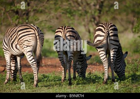 Vue arrière de l'alimentation trois Burchell zebra dans la brousse, Kruger National Park, Afrique du Sud Banque D'Images