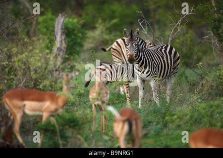 Impala et zèbre dans la brousse, Kruger National Park, Afrique du Sud Banque D'Images