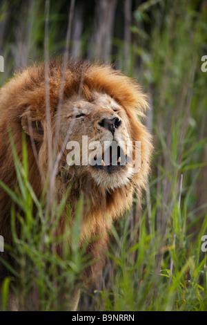 Portrait d'un homme lion roaring in the bush, Kruger National Park, Afrique du Sud Banque D'Images