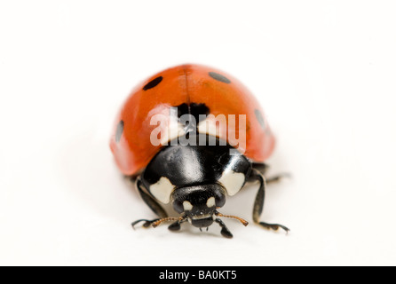 7-spot Ladybird Coccinella septempunctata ou Coccinella 7-punctata Banque D'Images