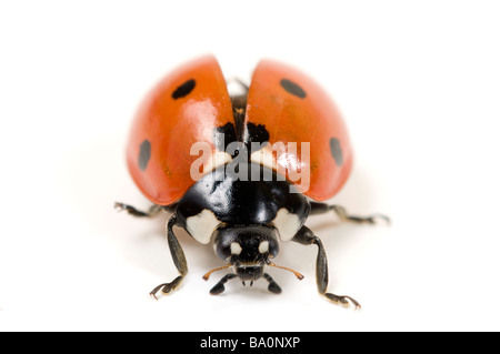 Septième place ladybird ladybug Coccinella punctata 7 ou Banque D'Images