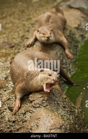 Enduit lisse Cerdocyon Otter captif perspicillata
