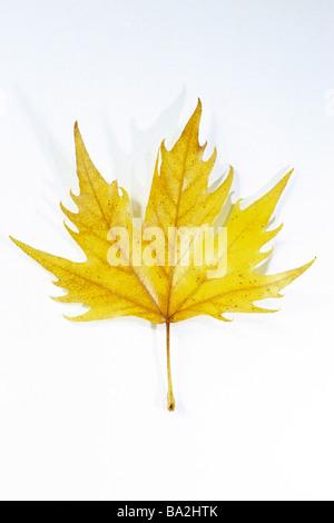 Avion à destination de Londres (Platanus x acerifolia, Platanus x hispanica), feuille en couleurs de l'automne, Banque D'Images