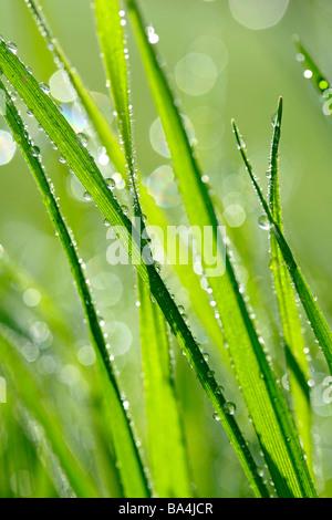 L'herbe et les gouttelettes Banque D'Images