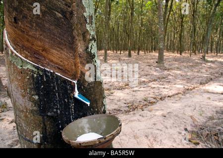 En latex de caoutchouc à partir d'un arbre sur une plantation près de Tay Ninh, Vietnam Banque D'Images