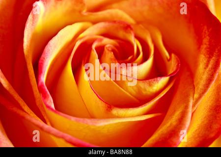 Rose orange Banque D'Images