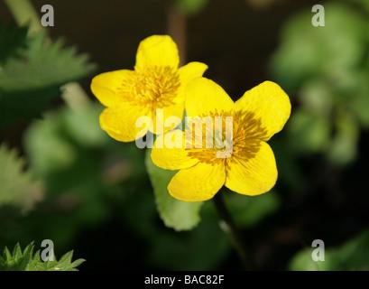 Le Populage des marais, Caltha palustris, Ranunculaceae