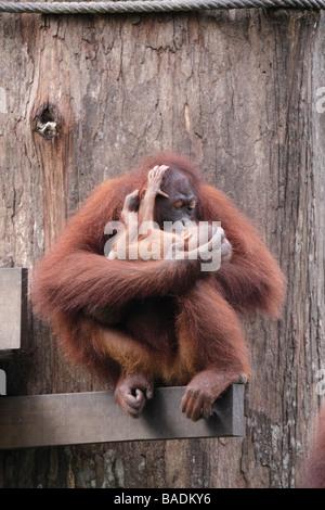 Mère embrassant bébé orang-outan Sepilok Kabili Rainforest Reserve Sabah Bornéo Banque D'Images