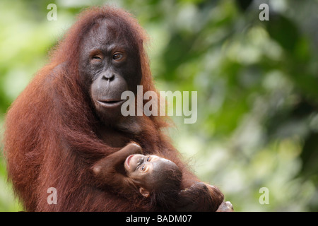 Mère et bébé orang-outan Sepilok Kabili Rainforest Reserve Sabah - Bornéo convenu pour l'utilisation de l'organisme Banque D'Images