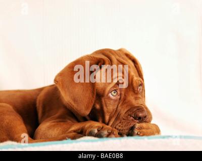Portrait de Dogue de Bordeaux Puppy Banque D'Images
