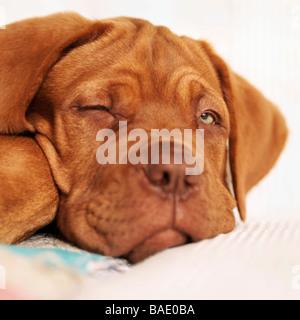 Portrait de Sleepy Dogue de Bordeaux chiot avec un oeil Banque D'Images
