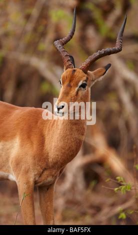 Un taureau impala, Kruger National Park, Afrique du Sud