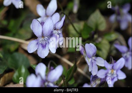 Chien de bruyère violette Viola canina plante en fleurs Banque D'Images