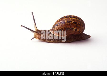 Escargot commun Banque D'Images
