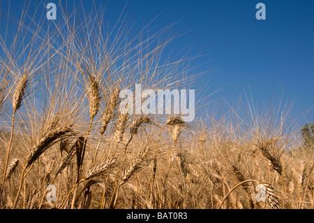 Champ de blé et ciel bleu Banque D'Images
