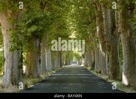 Voir à une route bordée de sycomore, Alpes de Haute Provence, Provence, France