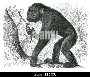 Le chimpanzé Pan troglodytes chimpanzé mafuka paniscus Bonobo chimpanzé pygmée chimpanzé hominidés tribu Hominini Banque D'Images