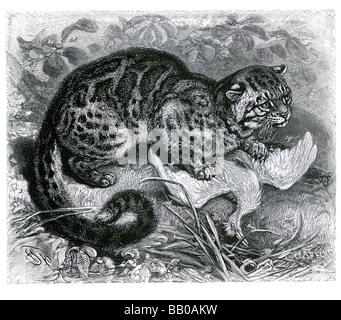 Chat marbré Pardofelis marmorata chat domestique à poil épais queue contrepoids arboricole blotched bagués jaune Banque D'Images