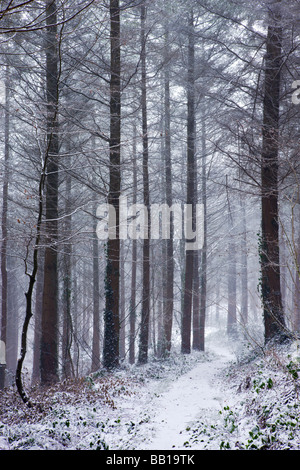 Bois de pins couverts de neige après un blizzard Bois Morchard Morchard Évêque Devon, Angleterre Février 2009 Banque D'Images