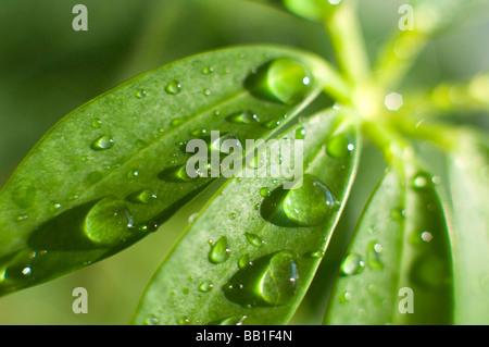 Gouttes d'eau sur une feuille de plante Schefflera. Banque D'Images