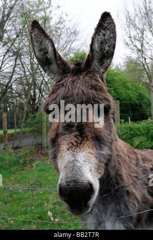 Portrait gros plan d'une tête d'âne âne visage regardant la caméra regardant regarder curieux nosey Nosy Be Banque D'Images