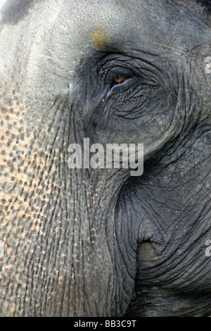 Close Up of Eye et le tronc de l'éléphant indien Elephas maximus indicus prises dans le Parc National de Nagarhole, Banque D'Images