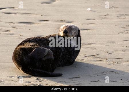 Une loutre de mer du Sud sur une plage de sable à Moss Landing, California.