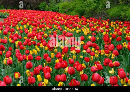Lit de jardin panoramique de l'impression rouge et jaune tulipes de Washington au festival des tulipes d'Ottawa Banque D'Images
