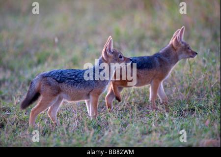 Le Chacal à dos noir (Canis mesomelas), deux jeunes dans la première lumière du jour, Masai Mara National Reserve, Banque D'Images
