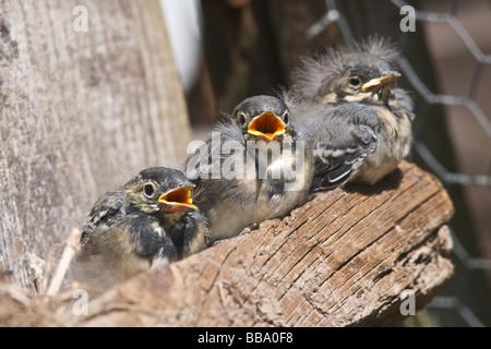 Les jeunes oiseaux de bébé naissant à propos de voler - ce sont des jeunes Bergeronnettes Pied