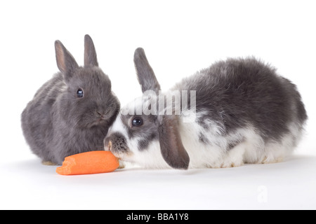 Deux lapin et une carotte isolated on white Banque D'Images