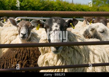 Moutons dans un stylo pour la tonte Banque D'Images
