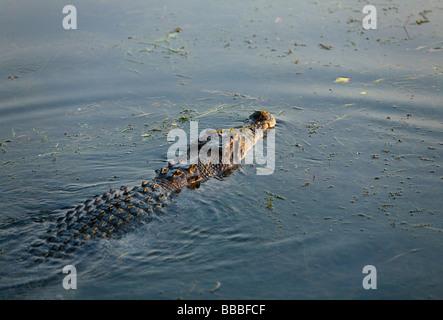 Saltwater crocodile (Crocodylus porosus). Les zones humides, l'eau jaune Cooinda, Kakadu National Park, Territoire Banque D'Images
