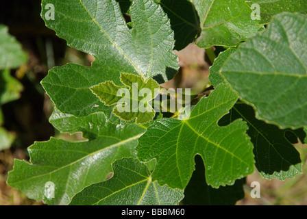 Feige fig 33