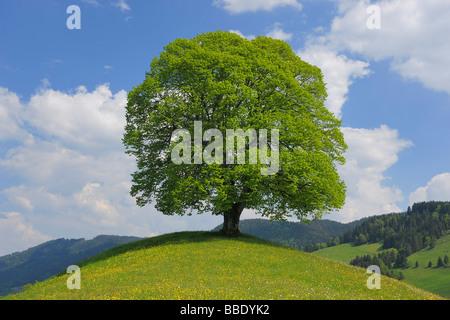Chêne en haut de colline, Canton de Zurich, Suisse