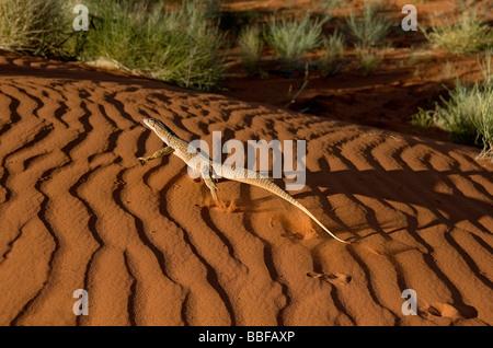 Le goanna sable ou Goulds surveiller Varanus gouldii racing d'une dune de sable rouge à la première lumière près Banque D'Images