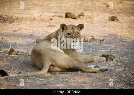 Lion couché sur le côté au parc national de Chobe. Banque D'Images