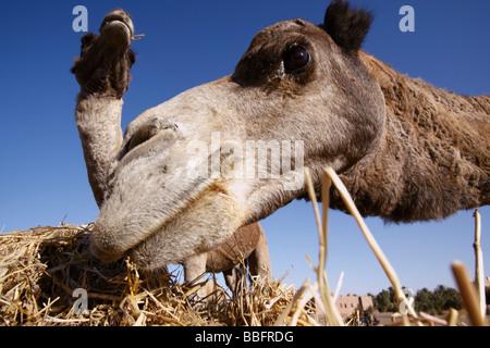 Afrique, Afrique du Nord, Maroc, Sahara, Merzouga, Erg Chebbi, embouchure de la mastication de chameau Banque D'Images