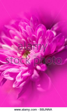 Macro fleur rose Banque D'Images