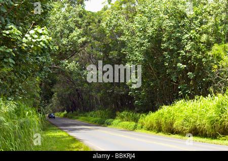 Tunnel d'arbres de swamp acajous Kauai HI Banque D'Images