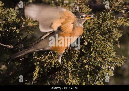 Merle d'Amérique Turdus migratorius femme mangeant des baies de genévrier tree NP Yellowstone Wyoming Septembre Banque D'Images