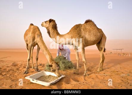 Wahiba,Oman,temps d'alimentation pour les chameaux d'un Bédouin local dans la région de Wahiba Sands Banque D'Images
