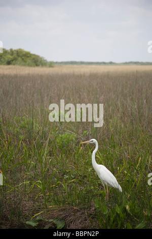 Grand héron blanc et d'autres oiseaux abondent sur l'anhinga Trail au Royal Palm dans le parc national des Everglades, Banque D'Images