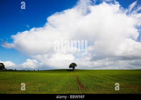 Arbre de chêne en champ arable, près de Carlow, Co Carlow, Irlande
